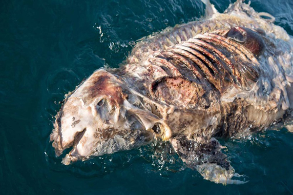 A dead vaquita marina.