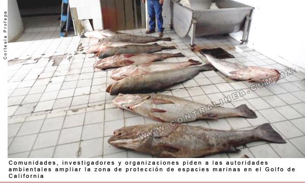 Totoaba. Photo from Revista Contralinea, http://www.contralinea.com.mx/archivo-revista/index.php/2015/05/13/biodiversidad-mexicana-de-contrabando-al-mercado-asiatico/