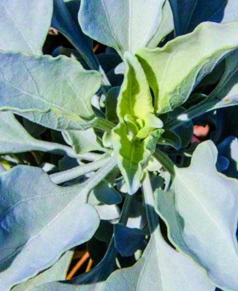 White sage plant in USD's Kumeyaay Garden