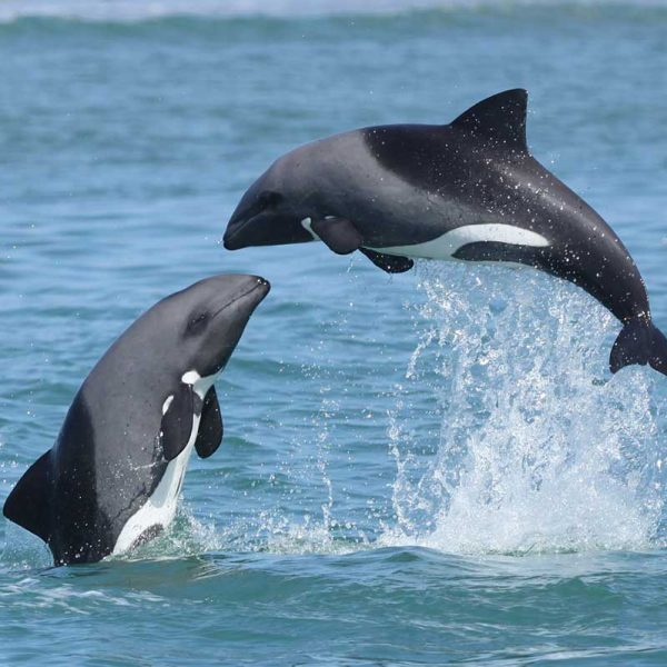pair of heavisides dolphins