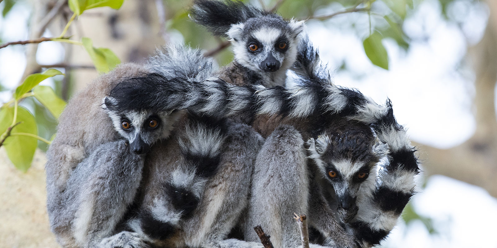 Lemurs clustered on tree branch.